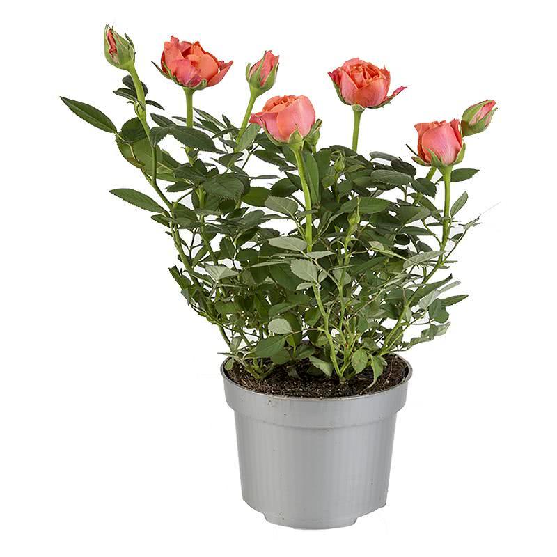 роза гранд даника фото днем рождения