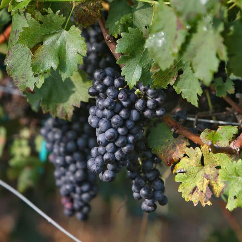 Виноград северное сияние фото